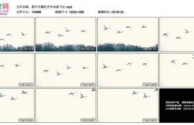 高清实拍视频丨四只天鹅在空中向前飞行