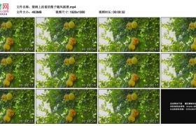 高清实拍视频素材丨梨树上挂着的梨子随风摇摆