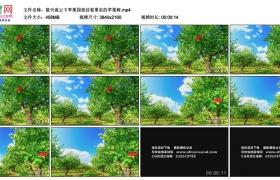 4K实拍视频素材丨蓝天流云下苹果园里挂着果实的苹果树