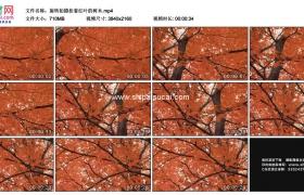 4K实拍视频素材丨旋转拍摄秋天挂着红叶的树木