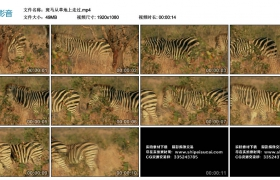 高清实拍视频丨斑马从草地上走过