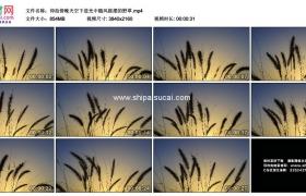 4K实拍视频素材丨仰拍傍晚天空下逆光中随风摇摆的野草