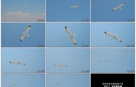 高清实拍视频素材丨一只海鸥在蓝天上展翅翱翔