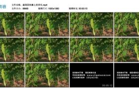 高清实拍视频丨蔬菜园里藤上的苦瓜