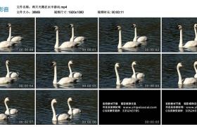 高清实拍视频丨两只天鹅在水中游动