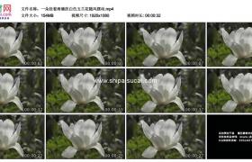高清实拍视频素材丨一朵挂着雨滴的白色玉兰花随风摆动