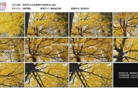 4K实拍视频素材丨仰拍穿行在秋天挂满黄叶的树林里
