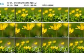 高清实拍视频丨春天黄色的花卉及采集花粉的蜜蜂