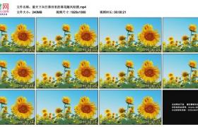 高清实拍视频素材丨蓝天下向日葵田里的葵花随风轻摆
