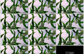 4K实拍视频素材丨仰拍晴空下农田里的玉米