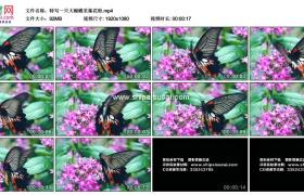 高清实拍视频素材丨特写一只大蝴蝶采集花粉