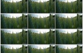 4K实拍视频素材丨特写麦田里的青色麦穗