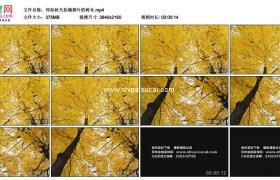 4K实拍视频素材丨仰拍秋天挂满黄叶的树木