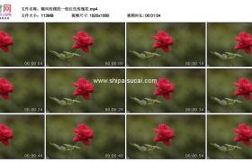 高清实拍视频素材丨随风轻摆的一枝红色玫瑰花