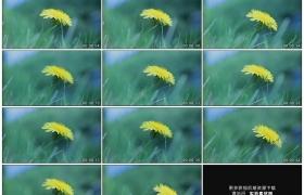 高清实拍视频素材丨春天草地上一朵黄色的蒲公英随风摆动