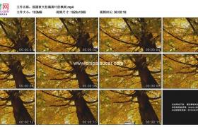 高清实拍视频素材丨摇摄秋天挂满黄叶的枫树