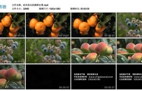 高清实拍视频丨挂在枝头的新鲜水果