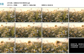 高清实拍视频丨拍摄逆光中的甘菊茶花