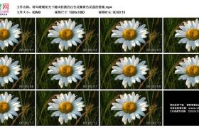 高清实拍视频素材丨特写暖暖阳光下随风轻摆的白色花瓣黄色花蕊的雏菊