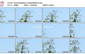 高清实拍视频素材丨晴天阳光照射着蓝色天空前随风摇摆的竹枝