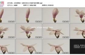 高清实拍视频素材丨白色背景前一朵粉色的玉兰花盛开延时摄影
