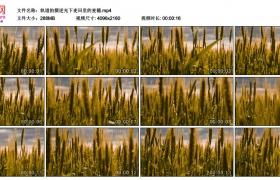 4K视频素材丨轨道拍摄逆光下麦田里的麦穗