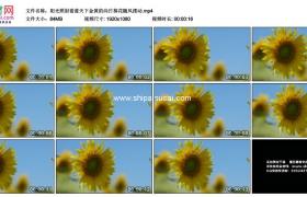 高清实拍视频素材丨阳光照射着蓝天下金黄的向日葵花随风摆动