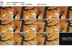 4K实拍视频素材丨摇摄秋天挂满黄叶的大树