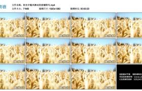 高清实拍视频素材丨阳光中随风舞动的麦穗特写