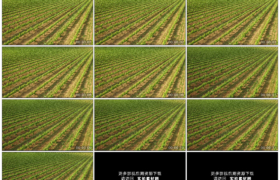 4K实拍视频素材丨航拍一大片绿色的葡萄园