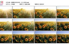 高清实拍视频丨摇摄晴天的农田里一大片太阳花