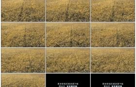 高清实拍视频素材丨无人机航拍成熟的水稻稻田
