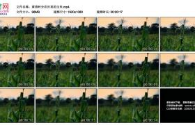 高清实拍视频丨黄昏时分农田里的玉米