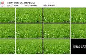 4K实拍视频素材丨稻田里绿色的水稻苗随风摆动
