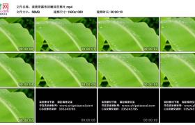 高清实拍视频丨清晨带露珠的嫩绿芭蕉叶