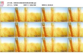 高清实拍视频素材丨昏黄的阳光照射着轻轻摆动的麦穗
