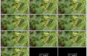 高清实拍视频素材丨特写藤蔓上挂着的黄瓜