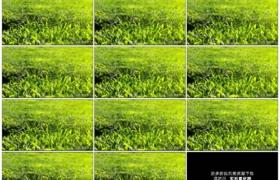 高清实拍视频素材丨阳光照射着茶园里绿色的茶叶