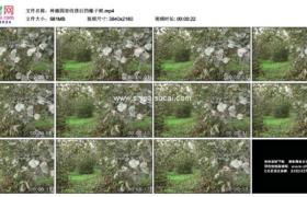 4K实拍视频素材丨种植园里收获后的榛子树