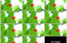 高清实拍视频素材丨向左摇摄绿叶间的一颗红色樱桃