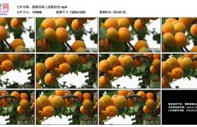 高清实拍视频丨摇摄杏树上成熟的杏