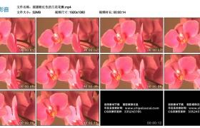 高清实拍视频丨摇摄粉红色的兰花花瓣