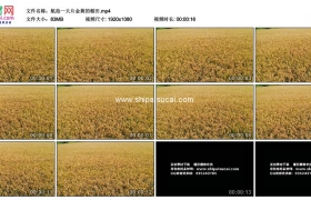 高清实拍视频素材丨航拍一大片金黄的稻田