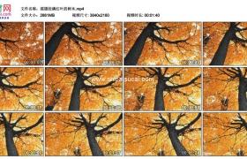4K实拍视频素材丨摇摄秋天挂满红叶的大树