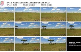 4K实拍视频素材丨晴天蓝天白云下非洲大草原上低矮的灌木和动物 长颈鹿 斑马