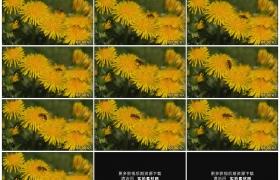 高清实拍视频素材丨特写一只蜜蜂采集黄色蒲公英花朵的花粉