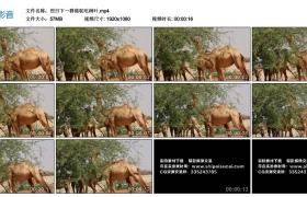 高清实拍视频丨烈日下一群骆驼吃树叶