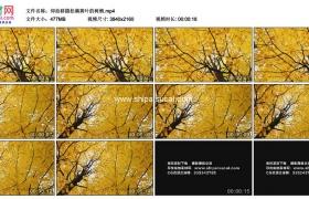 4K实拍视频素材丨仰拍移摄秋天挂满黄叶的树梢