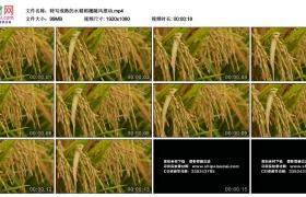 高清实拍视频丨特写成熟的水稻稻穗随风摆动