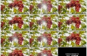 4K实拍视频素材丨阳光照射着果园里的葡萄随风摇摆